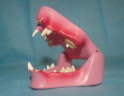 Zahngesundheit der Katze