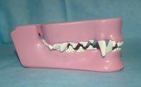 Zahngesundheit des Hundes